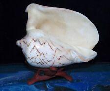 "6"" & UP VOLUTA NOBILIS POLISHED SEA SHELL NAUTICAL BEACH DECOR  TROPICAL"