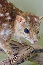 Bandicoot Baby Marsupial Animal Australia Journal : 150 Page Lined.