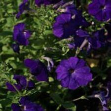 Petunia- Alderman- 100 Seeds