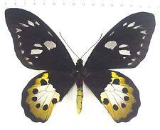 Ornithoptera TITHONUS ssp. misresiana Female EX Irian Jaya, Indonesia, n654