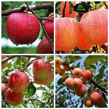 ! oferta! 20X Rojo se aplican Bonsai Manzano Seeds Inicio Jardín Planta de fruta semillas