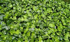 25 English Ivy plants, Evergreen, Very winter hardy, From my own garden!