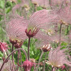 Prairie Smoke (Geum triflorum)  35+ Seeds