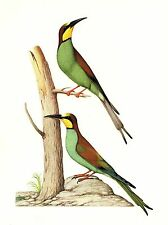 "1977 VINTAGE LAROUSSE ""EUROPEAN BEE EATER"" STUNNING BIRDS COLOR Art Lithograph"