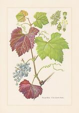 Wilde Weinrebe Wein - Vitis vinifera Farbdruck von 1960 Weinstock Weintrauben
