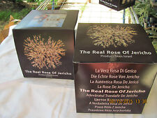 Rosa de jerico-familia Anastatica-hierochuntica original unica en el mundo