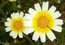 Chrysanthemum coronarium Garland Daisy 30 seeds
