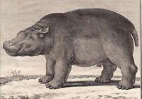 Gravure XVIIIe Hippopotame Hippopotamidae Flusspferde Бегемотовые 河马科