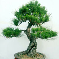 20/40pcs Japanese White Pine Pinus Parviflora Green Plants Tree Bonsai SeedBLCA