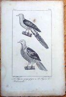 Le Pigeon Magnifique, Le Pigeon de Reinwards 1830s French Bird Print