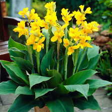 CANNA LILY - Yellow - 2 live PLANTS! - Perennial - GroCo Plant USA