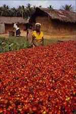 477078 Asciugatura Palm dadi in sole a premere per l'olio di palma Ghana A4 FOTO STAMPA