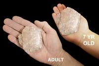 "Perthite 3"" 6-10 Oz Feldspar Rock Mineral Specimen Raw Chakra Healing Crystal"