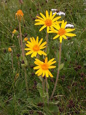 15 graines d' HERBE AUX CHUTES(Arnica Montana)H477 MOUNTAIN ARNICA SEEDS SAMEN