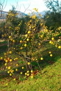 English grown QUINCE TREES
