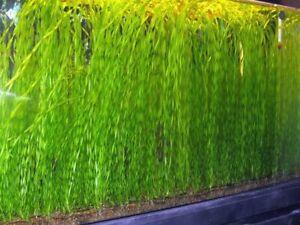 Valisneria Spiralis 'Tortifolia' (corkscrew) - oxygen plant - aquarium plant ...