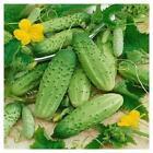 Boston Pickling Cucumber Seeds   Heirloom Vegetable Garden   Dưa Leo   NON-GMO