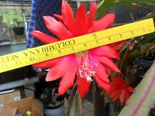 2 -- Epiphyllum Great Uncle Franks Red Cacti Cuttings - a family heirloom