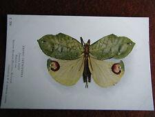 E206 EXOTIC ORTHOPTERA TANUSIA BRULLEI  NATURAL SIZE W.F.SEDGWICK LTD