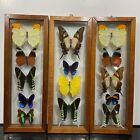 Vintage Real Butterfly Taxidermy Specimen Mid Century Art Display Specimens k