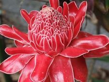 Stunning Red Torch Ginger (Etlingera elatior)  15 Seeds