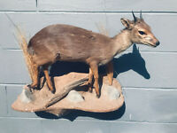 RARE,Blue Duiker full body Mount AFRICA SAFARI Hunting Decor Taxidermy ..Pigmy