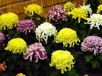 Chrysanthemum Seeds Chrysanthemum Exhibition 100 Seeds