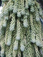 Sedum morganianum Donkey's Tail ,cactus, succulent garden plant.