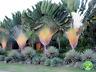 Palm Flores Seeds Bonsai Ravenala Madagascar Fan Palm Plants Evergreen 100 Pcs