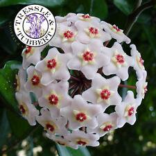 RARE Hoya carnosa intermittente Flower 5 Seeds UK seller
