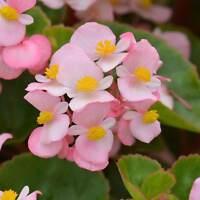 FIBROUS BEGONIA COCKTAIL PLANT / FLOWER GARDEN SEEDS PELLETED- 1000 SEEDS