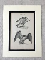 1880 Antique Bird Print Falcon Falconry Eagle Buzzard Victorian 19th Century