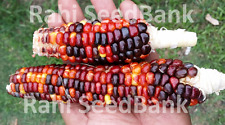 Smoke Signals Corn - One of the Most Stunning Multicoloured Corn Variety!!!