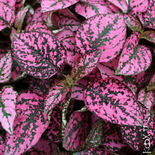 Hypoestes Confetti Pink Seed Easily Grown Foliage House/Shade Plant Colorful