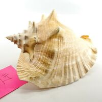 """Large King Queen Conch Sea Shell Horned Seashell 9"""" Beach Home Decor Nautical"""