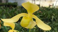 Paphiopedilum Joseíto x Paphiopedilum iowii - Seedling Plant!