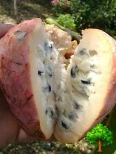 *UNCLE CHAN* 10 SEED RED CUSTARD APPLE SEED ANNONA RETICULATA RARE SWEET FRAGRAN