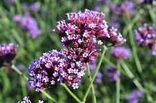 Eisenkraut, Verbena bonariense Heilpflanze ab 1,62