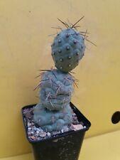 Tephrocactus geometricus 3 BIG BALL OWN ROOTS copiapoa aztekium cactus ritteri