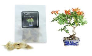 30 Cape Honeysuckle Bonsai Seeds   Grow Your Own Bonsai Tree   Beginners Gift