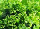 USA High speed fast growth lettuce Vegetable seed 100 seeds Lactuca sativa