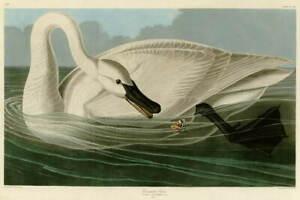 John James Audubon Trumpeter Swan Giclee Art Paper Print Poster Reproduction