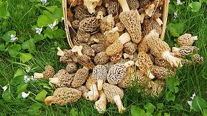 Morel Mushroom Spores in Sawdust Garden Seed Spore kit From WV 5 Gallon kit