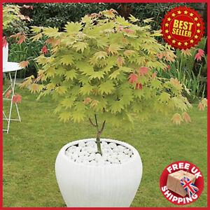 3L Acer shirasawanum 'Moonrise' Japanese Maple Colourful LIVE PLANT