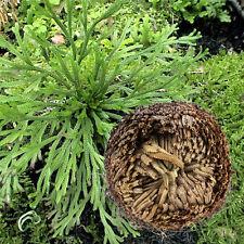 1Pcs Resurrection Plants Hydrophile Rose Of Jericho Dinosaur Plant Air Fern Spik