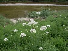 Wilde Möhre 200 Samen - Karotte - Salat  und Heilpflanze