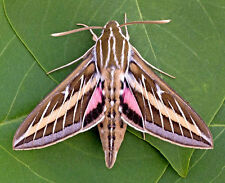 ONE ARIZONA PINK WHITE LINED SPHINX MOTH HYLES LINEATA UNMOUNTED WINGS CLOSED