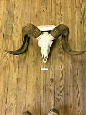 Great Ram Skull Rustic Decor Exotic Wildlife Ranch Hill Country Outdoors Sr1038