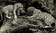 Jaguar Animals Wildlife Fight Drawing Graphite Charcoal Pencil Free Shipping