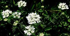 20 Semillas de Flores Orlaya Grandiflora a Grandes / Encaje Blanco
